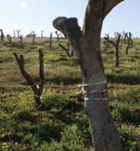 Contra lo dictado por la Junta, el alcalde dio la orden de inicio de las obras con daños irreversibles para el medio natural. La salvaje poda de encinas centenarias.