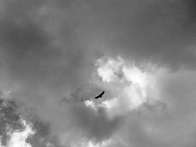 Pajarrajo (buitre leonado) volando sobre el cielo de Jimena, barruntando agua