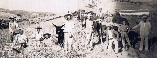 Grupos de jimenatos trabajando en el campo en la siega o arando la tierra con los bueyes que al cabo de semanas o meses aparecían por las barberías. Fuente: Ediciones OBA